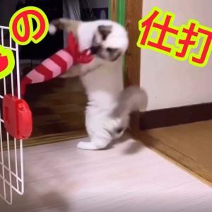 猫にボロボロにされたエビを修繕!