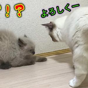 先住猫と新参猫の顔合わせ!