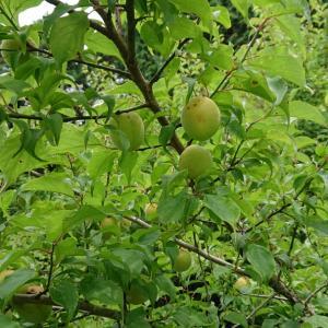梅の収穫と梅シロップの健康効果