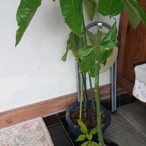 パキラの剪定と挿し木