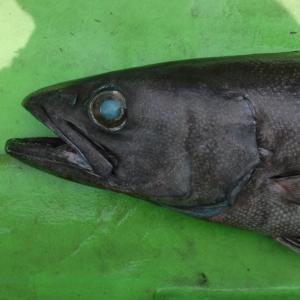 「念願のバラムツをキャッチ 」東京湾海底谷深海ザメ釣行 その2