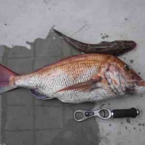 80センチオーバーの真鯛も数多く釣れる豊後水道のタイラバ釣行について