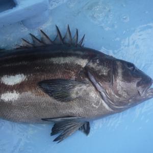 良型のイシナギが連発 千葉県外房 勝浦沖のイシナギ釣行について