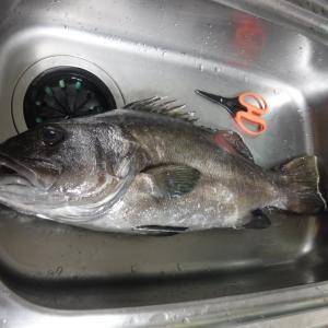 激渋の中イシナギをキャッチ 千葉県外房 勝浦沖のイシナギ釣行について