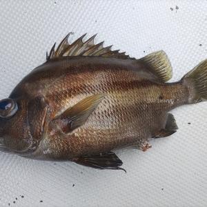 【良型のオニカサゴ、マハタ等で大漁 大分県蒲江沖の根魚五目釣りについて】