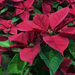 12月に見頃の花をプレゼントに!いい意味を持つ花言葉の花はどれ?