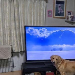 テレビ好きワンコ