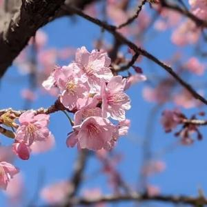 満開のI公園の河津桜