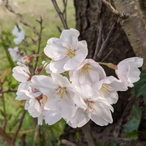 やっぱり桜見たいよね
