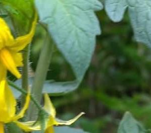 レタスの植え付け🎶