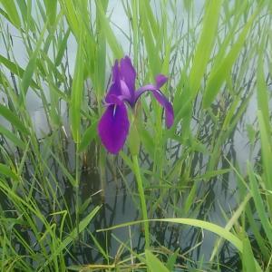 愛知県刈谷市井ヶ谷町「国の天然記念物に指定されている小堤西池のカキツバタ群落」を訪問してみました