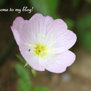 ☆ 庭に咲いた花 と 朝ドラ・・・ ~.:*・゚♡