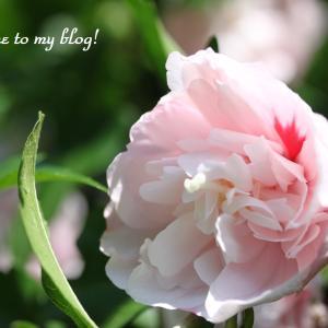 ☆庭の花 そして やっと娘に会えることに  ・・・~*・゚♡