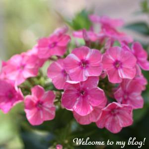 ☆ 庭に咲く花 フロックスなど ・・・~*・゚♡