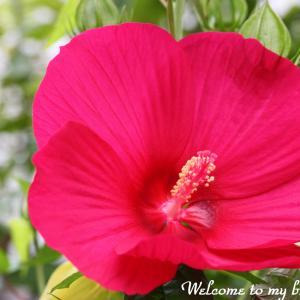 ☆ 今年も咲き始めた タイタンピカス と 掛け軸・・・~*・゚♡
