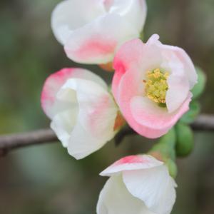 ☆木瓜の花と 日々雑感 ・・・~*・゚♡