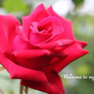 ☆ 我が家の バラたち ・・・~*・゚♡