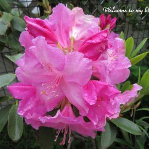 ☆ 我が家に咲いた シャクナゲの花たち ・・・~*・゚♡