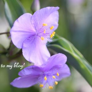 ☆ ムラサキツユクサ と 紫蘭 ~*・゚♡