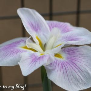 ☆ 庭に咲いた  花菖蒲 など ~*・゚♡