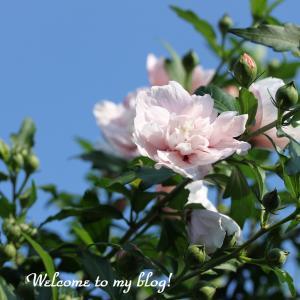 ☆ 何時の間にか ムクゲの花が ・・・ ~*・゚♡
