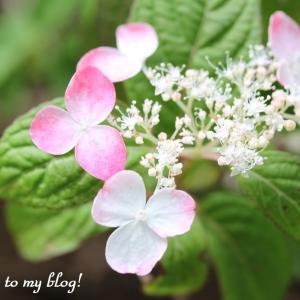 ☆ 庭に咲いた 紫陽花たち ・・・ ~*・゚♡