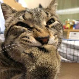 ネコちゃんがダミ声で「おてておいしいにゃ~」前足を吸うネコちゃん