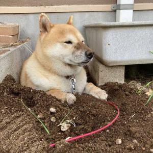 柴犬「ここが落ち着くんです」指定場所