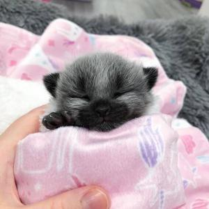 ネコっぽくない顔の子猫 『あつ森』のキャラが現実になった姿がこの子」