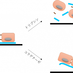 細胞分散試薬の比較【トリプシンだけじゃないよ♪】