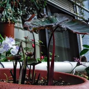 梅雨に魅る コロカシア&ネメシア