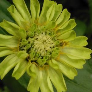 グリーンの花