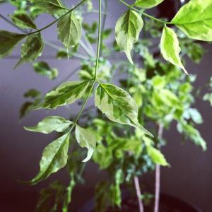 シマトネリコに似た斑入り植物
