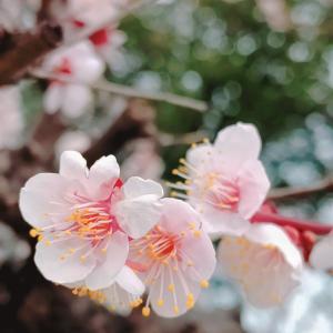 緊急事態宣言が解除されたので大阪城の梅林へ散歩してきました。