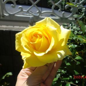 バラが次々と開花中 & 愛ちゃんと小太郎
