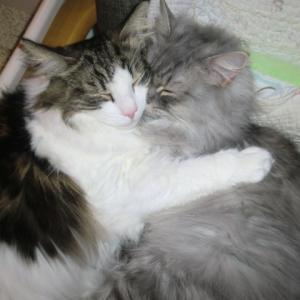 ノルウェージャンの愛とラガマフィンの福は仲良し猫 & バラ・ガートルードジェキル