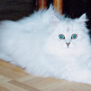 """""""平猫街頭募金再開のお知らせと疥癬タヌキ"""" 猫も、ヒゼンダニは怖い"""