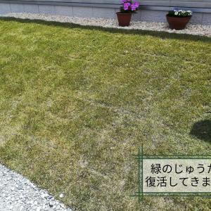 緑のじゅうたん復活! 芝生のお手入れ初体験しました