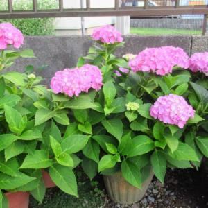 紫陽花が七変化