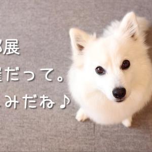 日本スピッツ協会の本部展(2020年秋季展)が開催されるそうです。ちぃ。も出陳予定です!