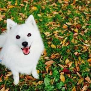 秋の白モフ水元公園!日本スピッツがいっぱい♪