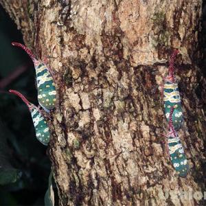 《8本脚のアリ発見》タイのちょっと変った昆虫たち