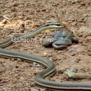 《知られざる事実》タイはヘビがうじゃうじゃ1