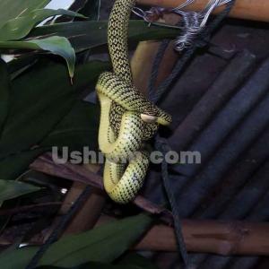 《家でも日常茶飯事ヘビ事件》タイはヘビがうじゃうじゃ3