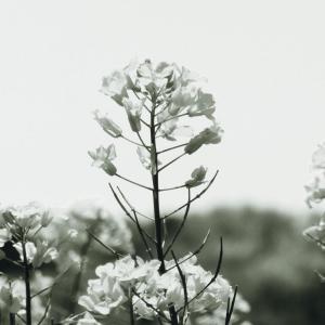 もういちど菜の花