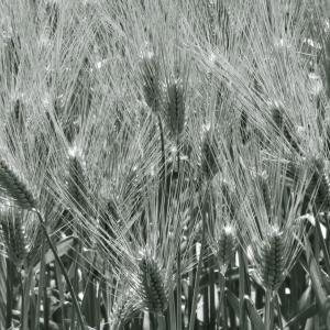 麦がわんさか育ってる