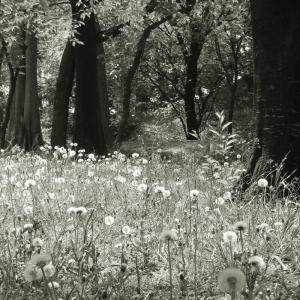 タンポポいっぱいの森