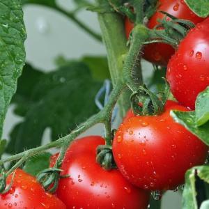 失敗!トマトの水耕栽培