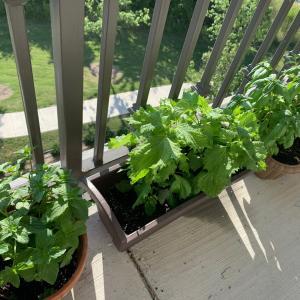 ベランダ菜園 収穫始めました