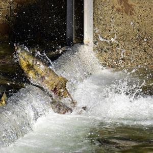 サケ釣りの始め方|仕掛け・餌・場所・時期・釣り方【初心者必見】